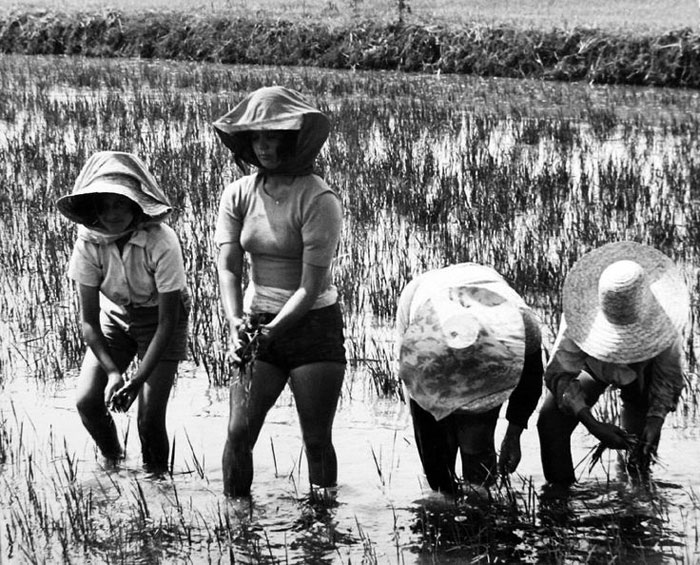 Мондины на рисовых полях