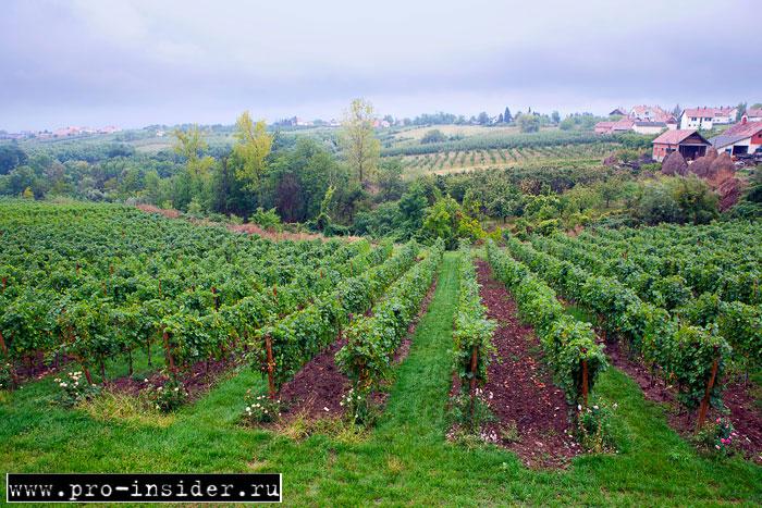 Виноградники Сербии