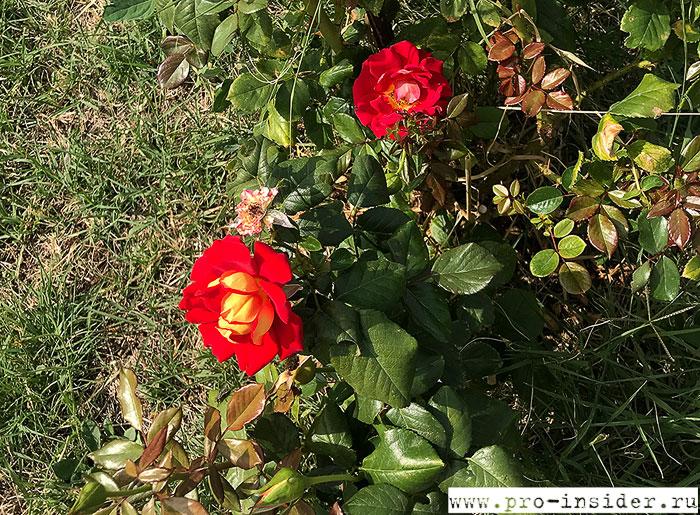 Розы. Cincinnato